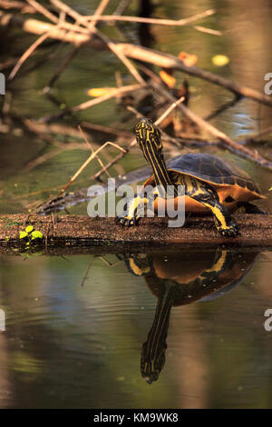 Florida redbelly turtle Pseudemys nelson perches on a cypress log in the Corkscrew Swamp Sanctuary in Naples, Florida - Stock Photo