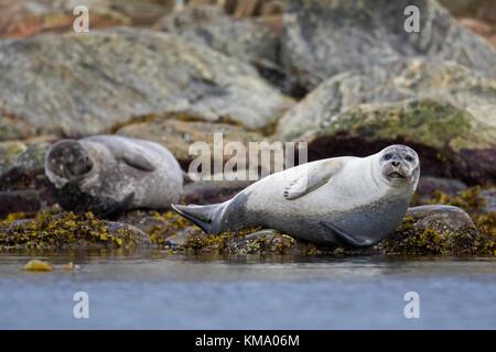 Two common seals / harbour seals (Phoca vitulina) resting on rocky coast, Svalbard / Spitsbergen, Norway - Stock Photo