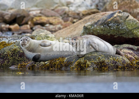 Two common seals / harbour seals (Phoca vitulina) resting on rocky coast, Svalbard / Spitsbergen, Norway - Stock Photo