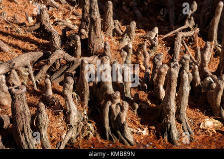 The knees of a bald cypress tree, Taxodium distichum, growing next to water in Oklahoma City, Oklahoma, USA. - Stock Photo