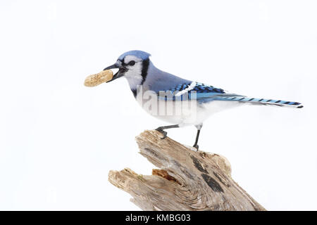 Blue Jay - Cyanocitta cristata perched on a branch with a peanut in Canada - Stock Photo