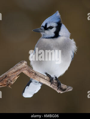 Blue Jay - Cyanocitta cristata perched on a branch in Canada - Stock Photo