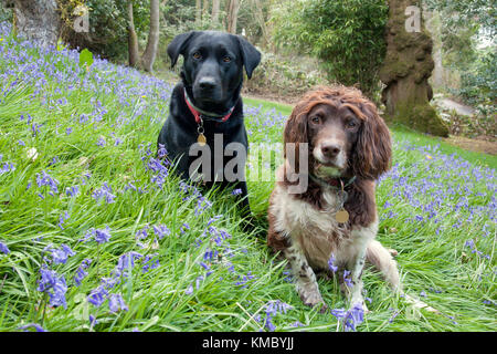 Springer spaniel and black labrador, two young adults sitting among bluebells - Stock Photo