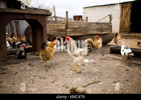 Black and white rooster among chickens and ducks in the village. - Stock Photo