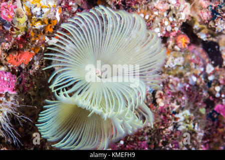 feather duster worm (Sabella fusca Grube, 1870) - Stock Photo
