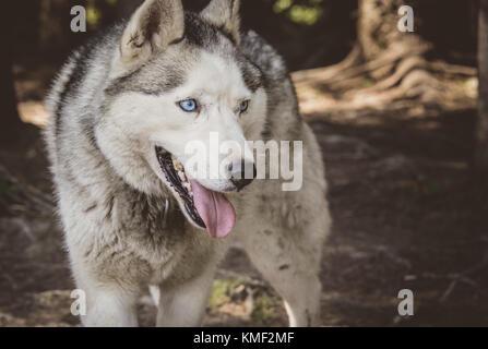 Siberian husky dog smiling in the summer - Stock Photo