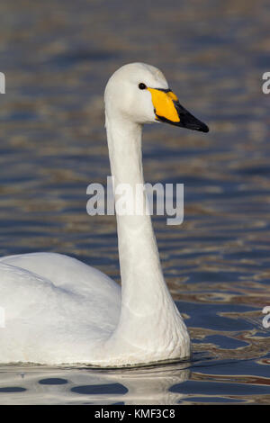 Close up portrait of whooper swan (Cygnus cygnus) swimming in winter - Stock Photo