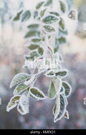 Closeup of frozen sweetbrier leaves. - Stock Photo