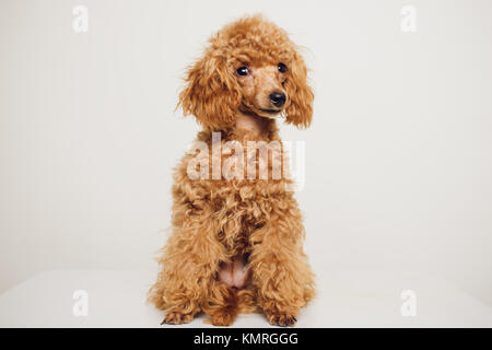 Adorable Mini Toy Poodle with Golden Brown Fur on a white background - Stock Photo