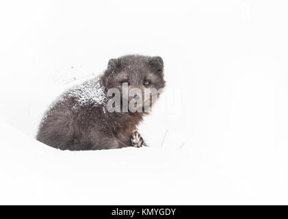 Female arctic fox laying on the snow with fur covered with snow, winter in Iceland - Stock Photo