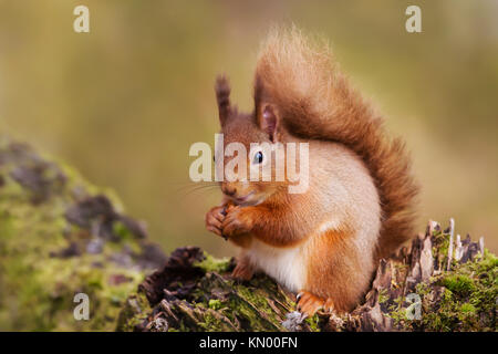 Red Squirrel eating nuts on a tree trunk in the Scottish forest. - Stock Photo