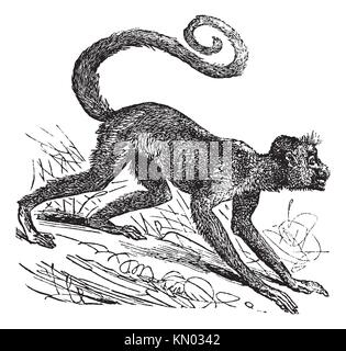 Ateles paniscus, Red-faced spider monkey, Guiana spider monkey or Red-faced black spider monkey  Vintage engraving - Stock Photo