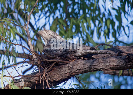 Tawny frogmouth sitting on nest in tree in Queensland Australia - Stock Photo