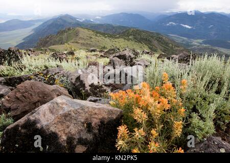 Sunrise over wildflowers blooming in the Slinkard Wilderness Study Area at Monitor Pass July 9, 2015 near Bridgeport, - Stock Photo