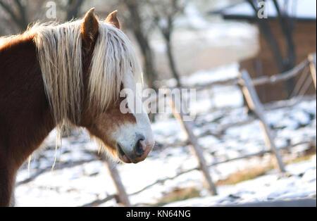 Equus ferus caballus. Portrait of Haflinger horse at winter - Stock Photo