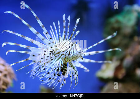 Common Lionfish (Pterois volitans) swimming above coral reefs - Stock Photo