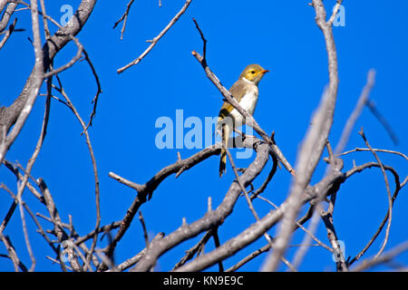 White-plumed honeyeater perched in dead tree in NSW Australia - Stock Photo