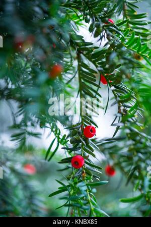 Mature cones, EUROPEAN YEW - TEJO (Taxus baccata), Cantabria, Spain, Europe. - Stock Photo