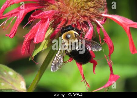 Carpenter bee (m) on bee balm - Stock Photo