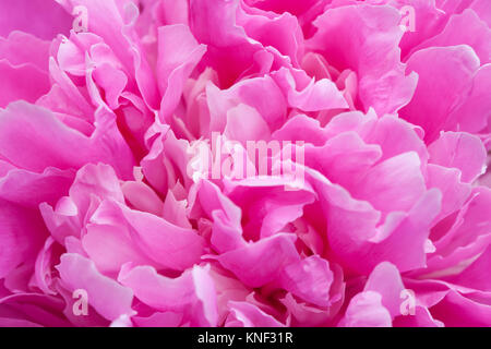 Peony flower petals close-up photo. Colorful textured decorative violet pink plant, shallow depth of field - Stock Photo