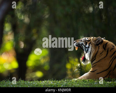 Miami, Forida, USA. 8th Dec, 2013. A Bengal Tiger. Credit: Bill Frakes/ZUMA Wire/Alamy Live News - Stock Photo