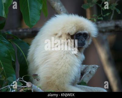 Miami, Forida, USA. 8th Dec, 2013. A lar, or white-handed, Gibbon. They are found in Indonesia, Laos, Malaysia, - Stock Photo
