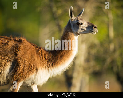 Miami, Forida, USA. 8th Dec, 2013. Llamas are domesticated South American animals used mostly for their wool and - Stock Photo