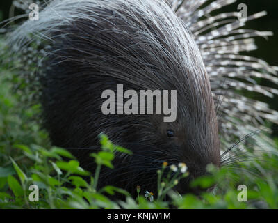Miami, Forida, USA. 8th Dec, 2013. Porcupines are rodentian mammals with a coat of sharp spines, or quills, that - Stock Photo
