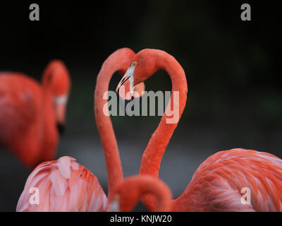 Miami, Forida, USA. 8th Dec, 2013. Flamingos range in color from light pink to bright red due to aqueous bacteria - Stock Photo