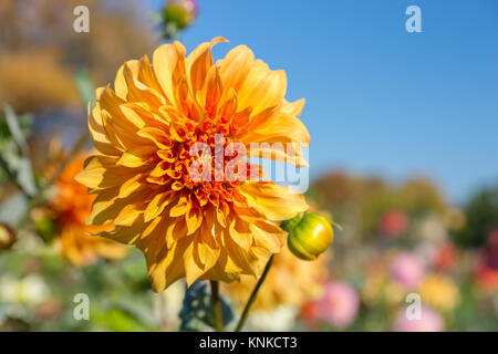 Close up of orange dahlia flower as background picture in a park against blue sky - Stock Photo