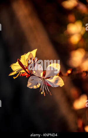 Gouda in the evening light of sunset. The flower seems weightless, floating like a delicate moth. Gardeners call - Stock Photo