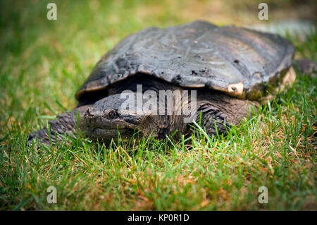 A snapping Turtle (Chelydra serpentine) on Cape Cod, Massachusetts, USA - Stock Photo