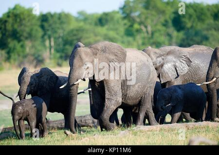 African elephant group (Loxodonta africana) with females and young foraging in the savanna. Hwange National Park, - Stock Photo