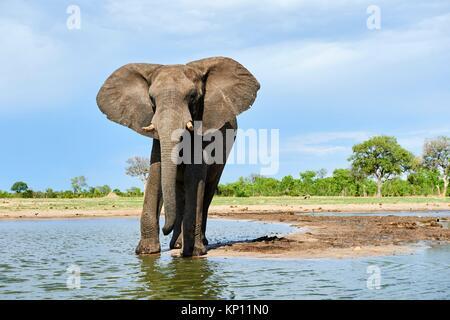 African elephant (Loxodonta africana) drinking at a watehole. Hwange National Park, Zimbabwe. - Stock Photo
