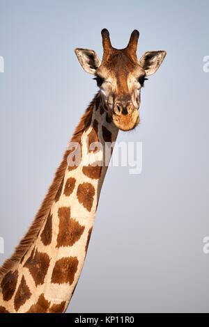 Head portrait Rothschild's giraffe (Giraffa camelopardalis rothschildi) female in Murchisson Falls National Park, - Stock Photo