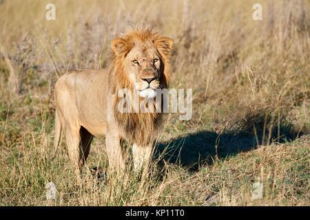 Portrait of African lion in savanna (Panthera leo) Okavango Delta, Moremi National Park, Botswana. - Stock Photo