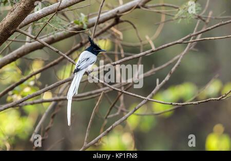 A Indian paradise flycatcher, white morph - Stock Photo