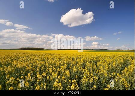 rapeseed field, Eure-et-Loir department, Centre-Val de Loire region, France, Europe. - Stock Photo