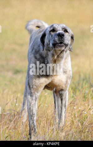 Mastiff dog.Olivenza.Badajoz province.Extremadura.Spain - Stock Photo