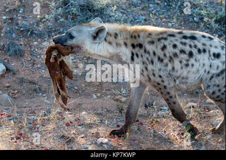 Spotted Hyena (Crocuta crocuta) aka Laughing Hyena with skin of antelope, Kruger National Park, Transvaal, South - Stock Photo