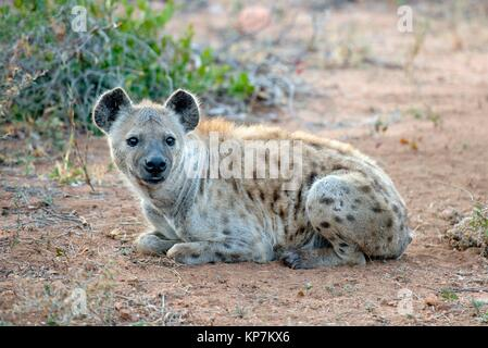 Spotted Hyena (Crocuta crocuta) aka Laughing Hyena lying on ground, Kruger National Park, Transvaal, South Africa. - Stock Photo