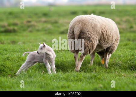 Lamb behind mother - Stock Photo