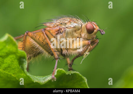 Yellow Dung Fly (Scathophaga stercoraria) on leaf with small prey caught between its front legs. Cahir, Tipperary, - Stock Photo