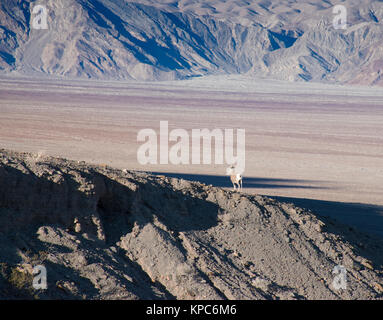 Bighorn Sheep, Death Valley National Park - Stock Photo