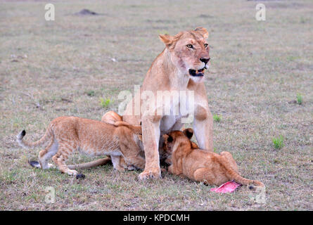 Wildlife in Maasai Mara, Kenya. Lioness with cubs - Stock Photo
