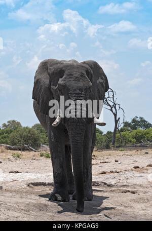 Elephant Bull at a waterhole in Chobe National Park, Botswana - Stock Photo