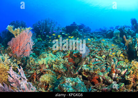 Red Sea Fans (Melithaea sp) and healthy hard coral reef, Scalefin Anthias (Pseudanthias squamipinnis), Komba Island, - Stock Photo