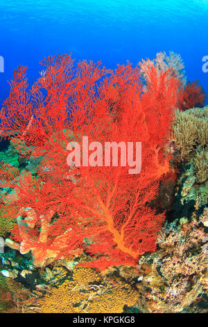 Underwater view of Red Sea Fans (Melithaea sp.), Komba Island, Flores Sea, Indonesia - Stock Photo