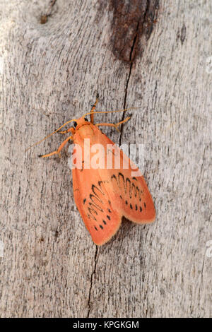 Rosy Footman Moth (Miltochrista miniata) adult at rest on tree trunk, Monmouth, Wales, July - Stock Photo