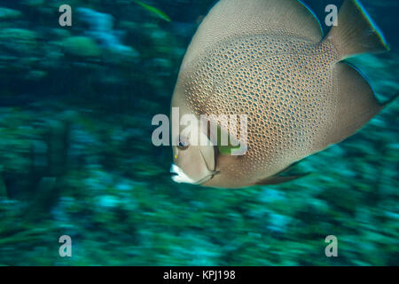Gray Angelfish (Pomacanthus arcuatus), Utila, North Side, Bay Islands, Honduras, Central America - Stock Photo